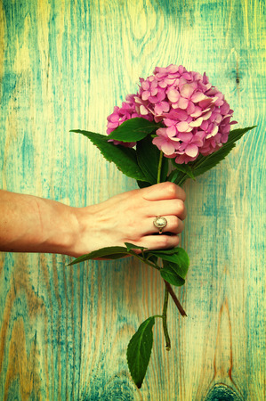 hand holding flower: Womans hand holding hydrangea blue abstract wooden background.