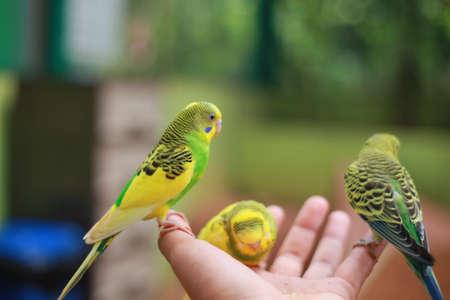 Nuri bird Colorful eating on people hand