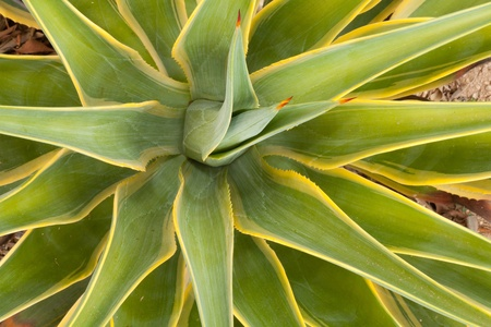 Average colorful Yucca plant in soft natural light  photo