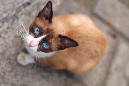 Blue eyes brown cat looking at camera