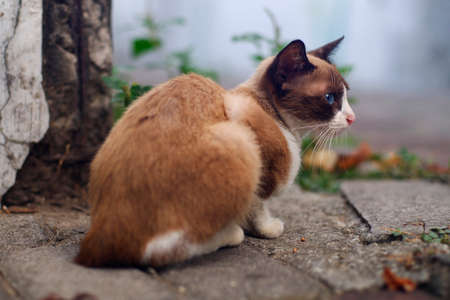 Blue eyes brown cat sit on roadside