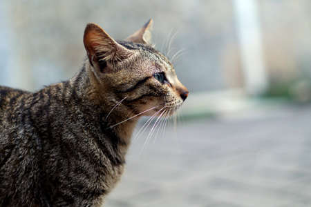 Tabby cat look straight, viewed from side