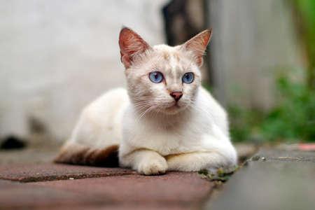 Blue eyes white cat sitting on roadside