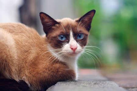 Blue eyes brown cat sitting on roadside Stock Photo