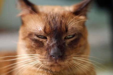 Brown cat extreme close up Stock Photo