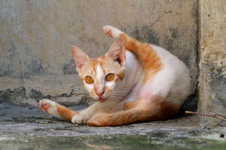 Cat in mid of grooming