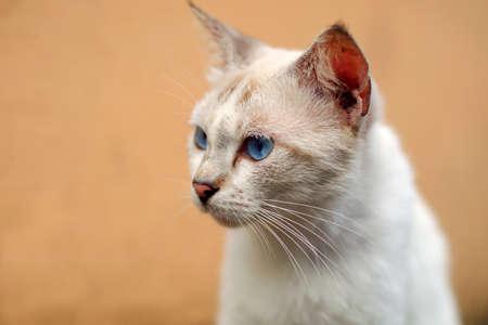 Blue eyes white cat close up Stock Photo