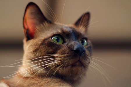 Brown Cat Close Up