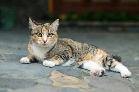 Beautiful Cat Lie Down