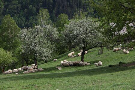 mountain meadow: Mountain meadow with flock of sheep Stock Photo