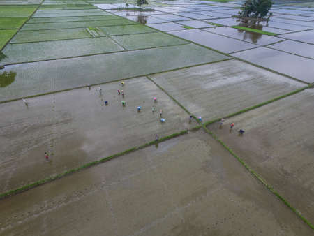 Farmer planting rice paddy in Mangkutana, Indonesia. Mangkutana is well known as trans migrant area which is rich with fertile land. Standard-Bild - 118704666