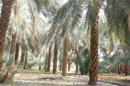 date palm tree: date palm