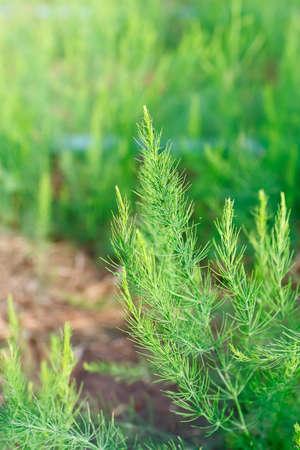 yong asparagus tree farm photo