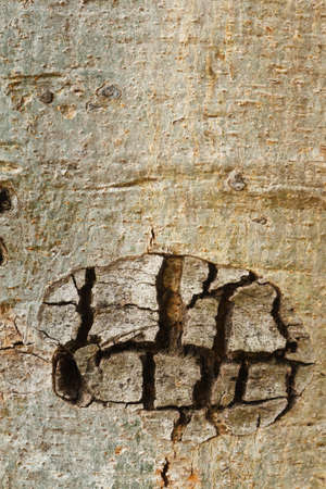 Patterns on the wood, of Cassia fistula tree photo