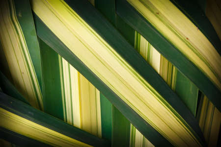 Details of woven leaves, palm family. photo