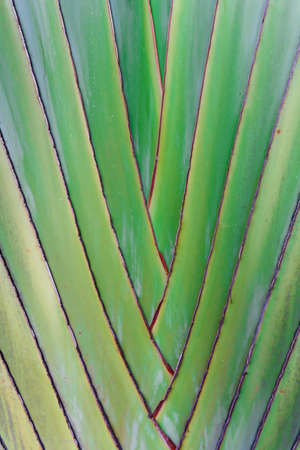 Details of leaf stalk of traveller palm photo