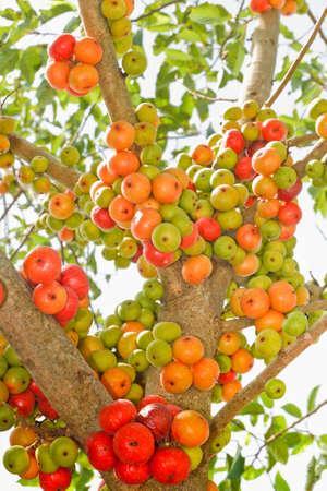 Ficus carica  Thai Fig ripe   Stock Photo