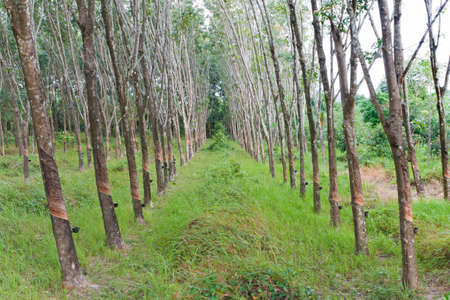 Rubber tree plantation in southern Thailand Stock Photo - 16654662
