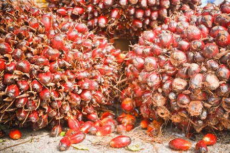 Oil palm fruit ripening. Stock Photo