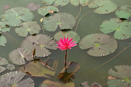 Red lotus   Nymphaea lotus Linn   in the pool  Stock Photo - 19536700