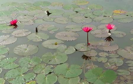 Red lotus   Nymphaea lotus Linn   in the pool Stock Photo - 19536670