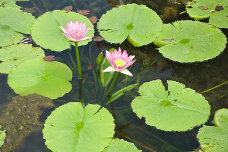 Pink lotus   Nymphaea lotus Linn   in the pool  photo