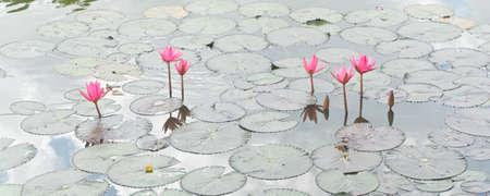 Red lotus    Nymphaea lotus Linn   in the pool  Stock Photo - 19536693