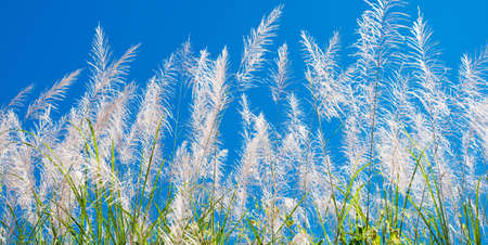 Reed flowers against the blue sky