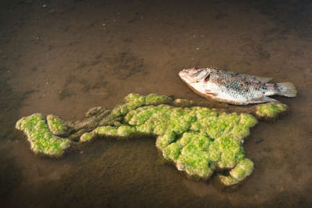 Dead fish along the Mekong River in algae  photo