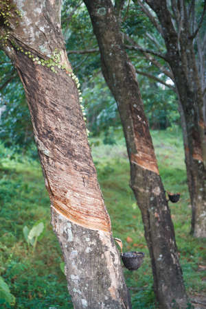 southern of thailand: Rubber tree plantation in southern Thailand