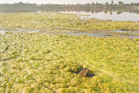 Toad in the algae along the Mekong River  Stock Photo - 19798785