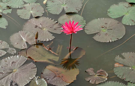 Red lotus   Nymphaea lotus Linn   in the pool Stock Photo - 19798519