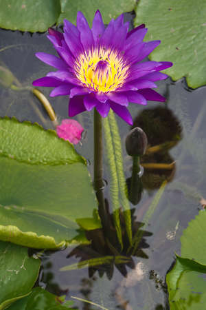 Purple  lotus   Nymphaea lotus Linn    in the pool Stock Photo - 19798328