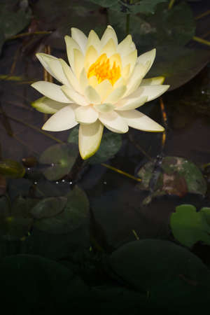 Yellow lotus     Nymphaea lotus Linn   in the pool Stock Photo - 19797864