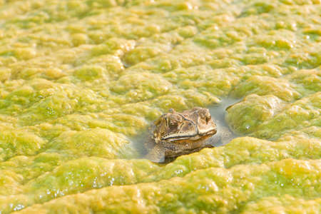 Toad in the algae along the Mekong River Stock Photo - 20633817