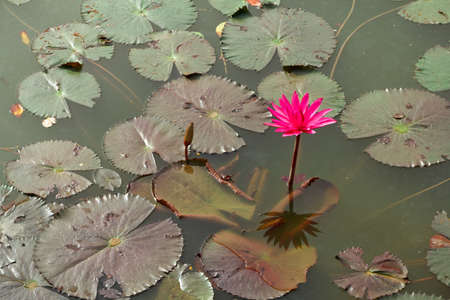 Red lotus   Nymphaea lotus Linn   in the pool Stock Photo - 20633856