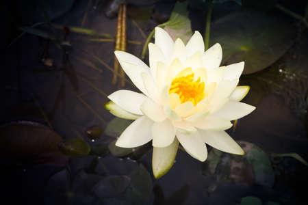 Yellow lotus     Nymphaea lotus Linn   in the pool Stock Photo - 20633761