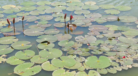 Red lotus    Nymphaea lotus Linn   in the pool  Stock Photo - 20633846