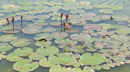 Red lotus    Nymphaea lotus Linn   in the pool