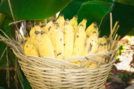 Banana, Nam-wa variety   Musa sapientum Linn