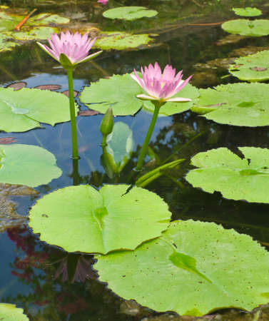 linn: Pink lotus   Nymphaea lotus Linn   in the pool