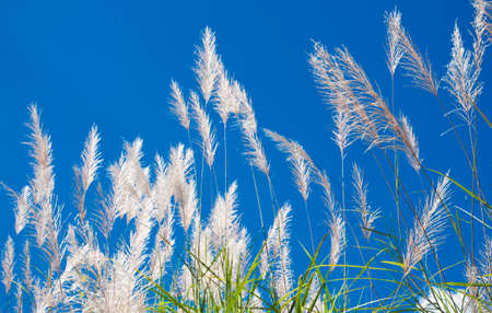reed against the blue sky photo