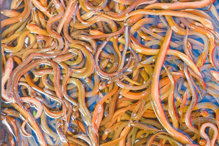Many freshwater eels, in the basin  photo