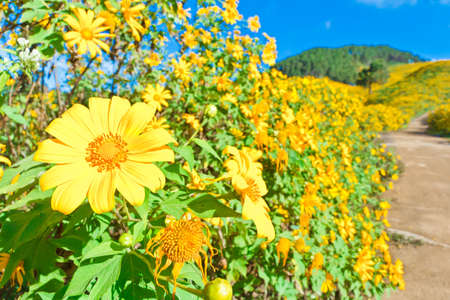 Mexican sunflower weed  we call bua-tong  valley in Maehongson, Thailand  photo