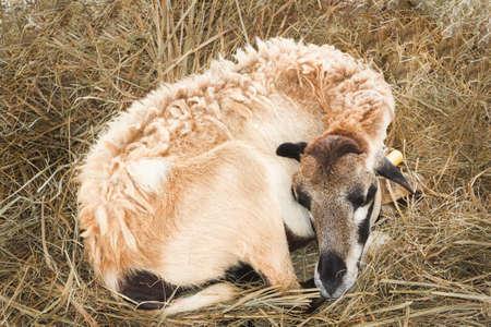 Sheep, breeds Santa ines photo