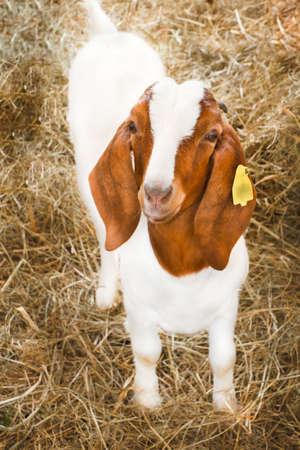boer: Cabra Boer cr�a, en una jaula