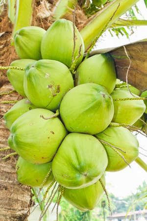 Bouncing balls coconuts on tree photo