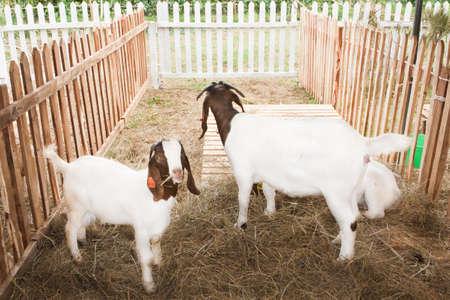 boer: Cabra razas Boer, en una jaula