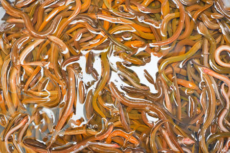 Many freshwater eels, in the basin.