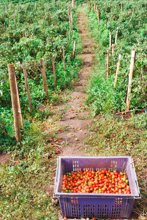 Planting and harvesting tomatoes sold in the market.